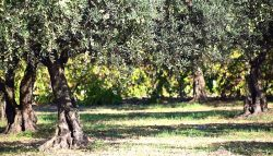 Forest of olive trees