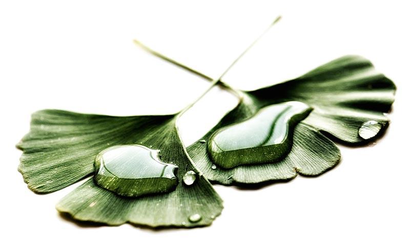 Gingko Bilbo leaf