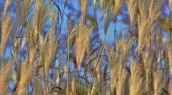 Barley grass gluten free