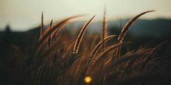 Wheat at dusk