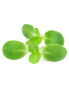 Bacopa Herb Extract