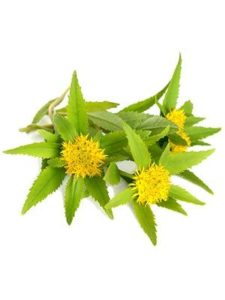 Rhodiola Root Powder / Extract